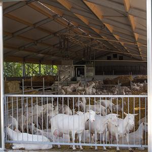 Nederlandse geiten- en schapenbedrijven officieel vrij van Q-koorts